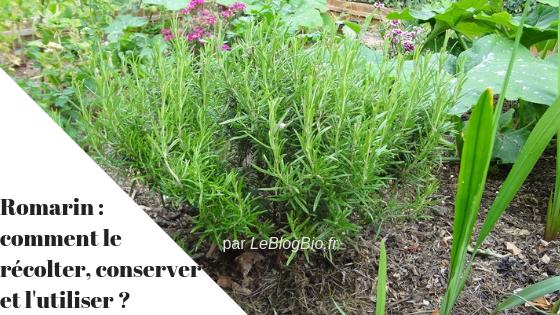 Sommaire : Romarin : comment le récolter, le conserver et l'utiliser ?