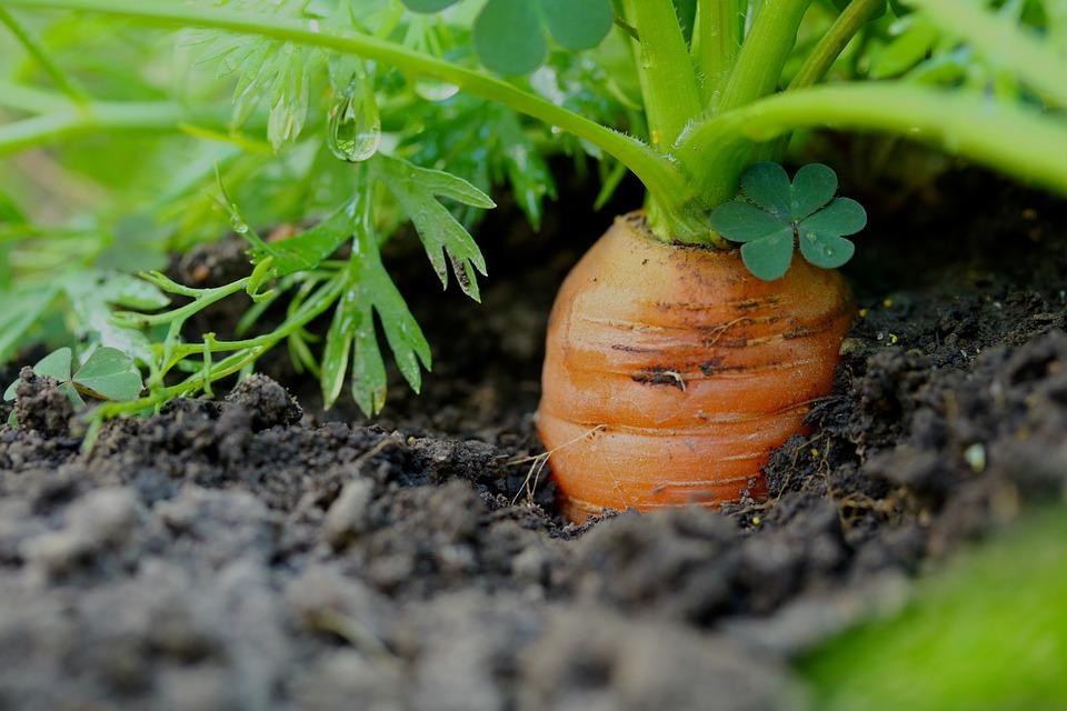 Replantez les têtes de vos carottes pour qu'elles repoussent