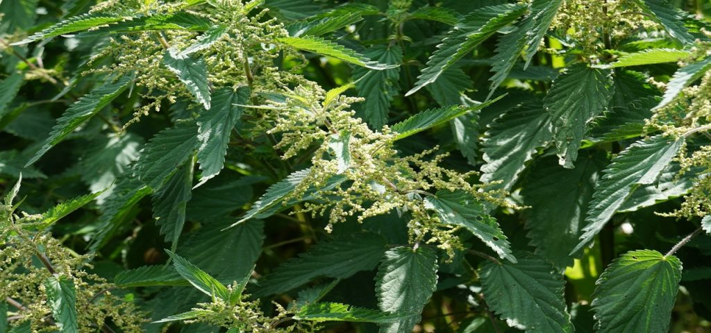 Fortifiez vos plantes avec votre purin d'orties #bio #faitmaison #zerodechet #antigaspi #permaculture #jardin #potager