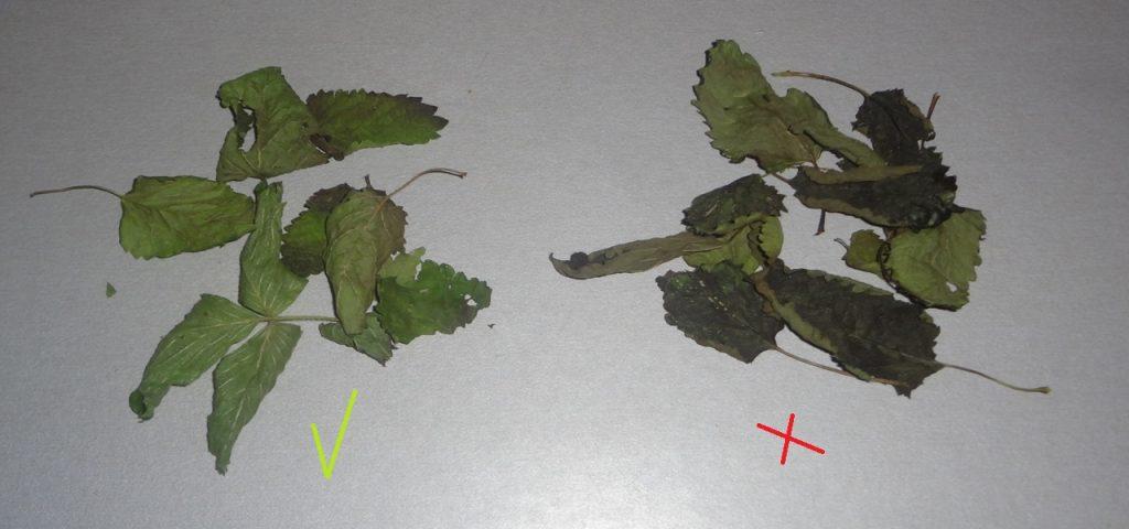 Quand et comment récolter et sécher la melisse? astuce maison pour utiliser ses plantes médicinales sans déchets #antigaspi #zerowaste